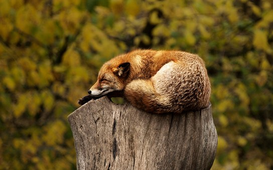 sleeping fox mental health exhaustion